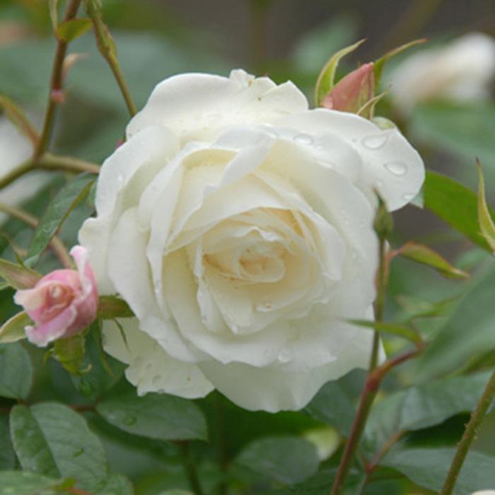 【バラ/薔薇】秋苗 「つる アイス バーグ[Iceberg,Climbing](CL)」二季咲つるバラ/クライミングローズ/白系