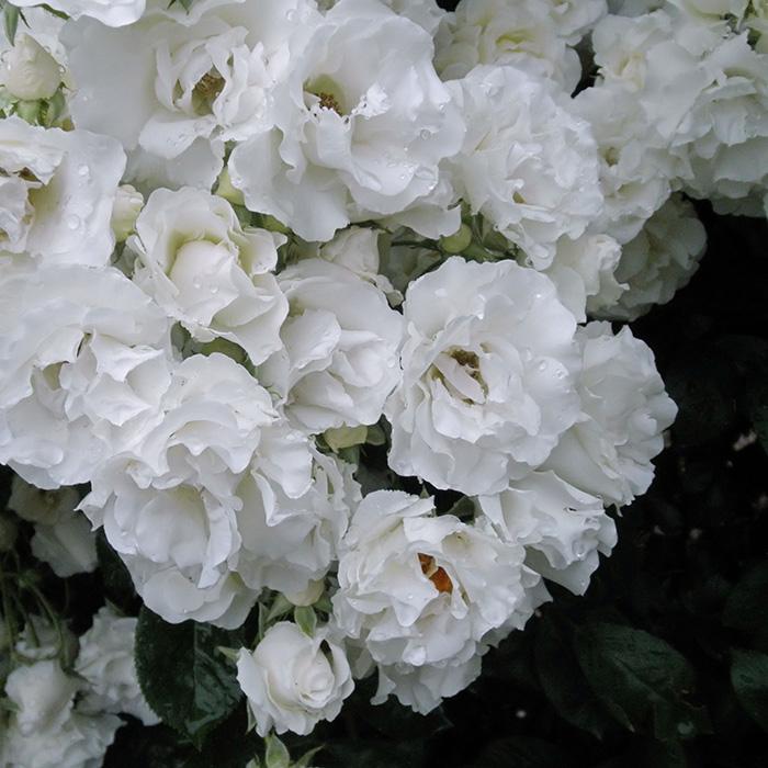【バラ/薔薇】秋苗「つる サマー スノー[Summer Snow,Climbing](CL)」二季咲つるバラ/クライミングローズ/白色系