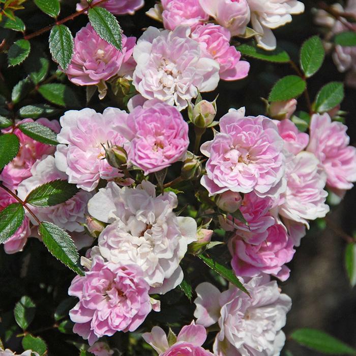 【バラ/薔薇】秋苗「宇部小町[Ube Komachi](CL)」四季咲/つるバラ/クライミングローズ/ピンク系