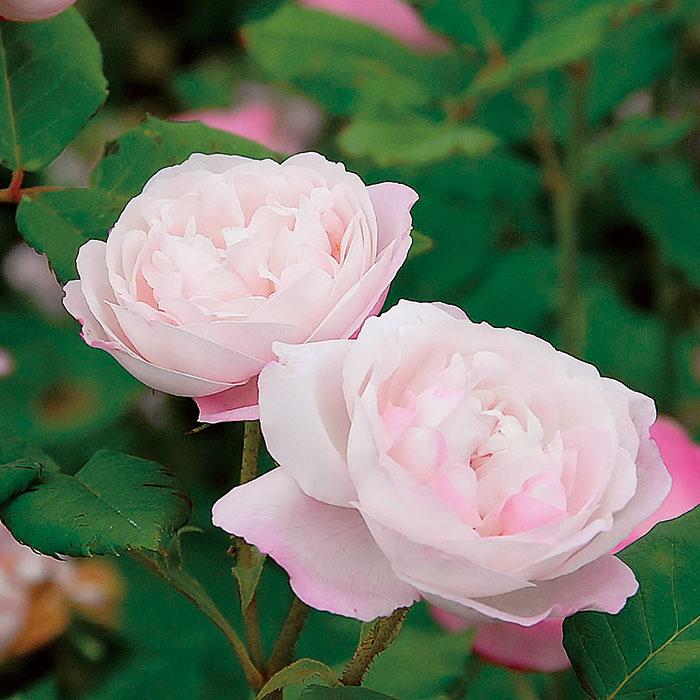 【バラ/薔薇】秋苗「マダム ピエール オジェ(ブルボン)」二季咲/