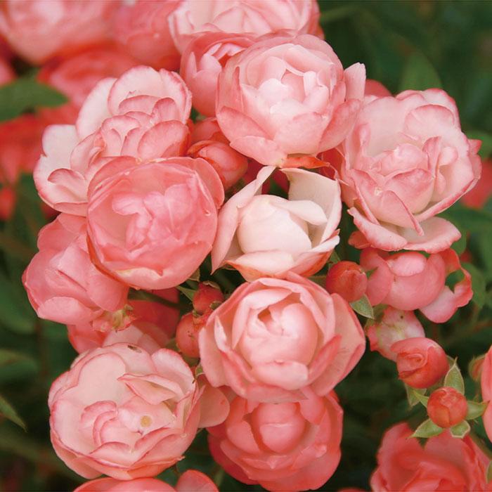 【バラ/薔薇】バラ苗 6号鉢「マルゴ スター(Pol)」四季咲/     ></p><br />  <br /> <p><font size=