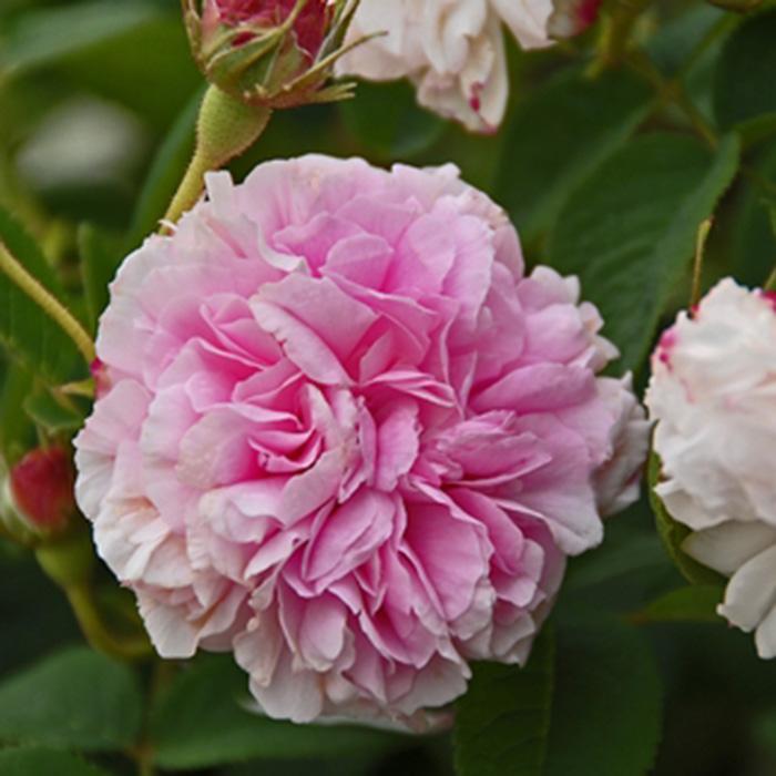 【バラ/薔薇】秋大苗「ピンクレダ[Pink Leda](ダマスク)」一季咲き⇒春に一度だけたくさん咲きます/アンティークローズ/ピンク系
