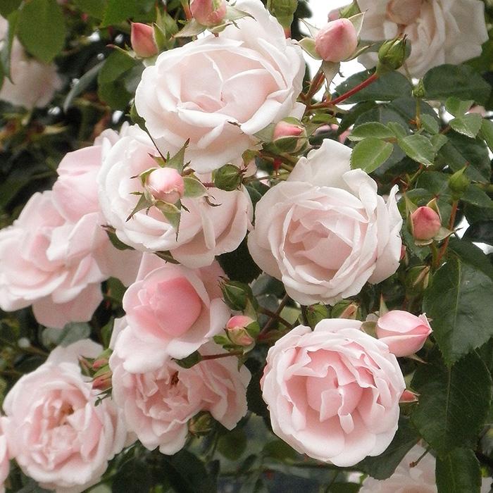 【バラ/薔薇】秋苗「ニュー ドーン[New Dawn](CL)」四季咲/つるバラ/クライミングローズ/ピンク系