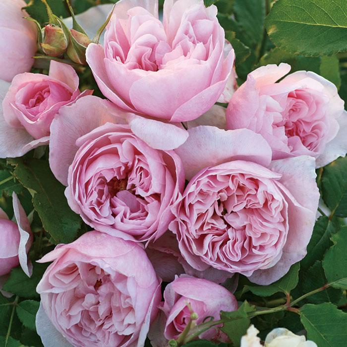 【バラ/薔薇】秋大苗「秋大苗「ピンク ラビット[Pink Rabbit]」四季咲/></p><br /><br />   <p><font size=