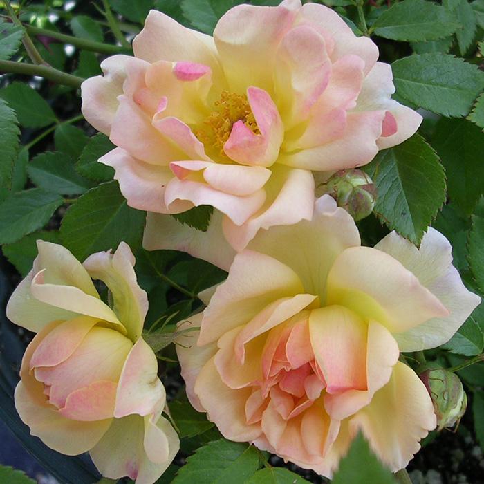 【バラ/薔薇】秋大苗「フィリス バイド[Phyllis Bide](CL)」二季咲つるバラ/クライミングローズ/ピンク系