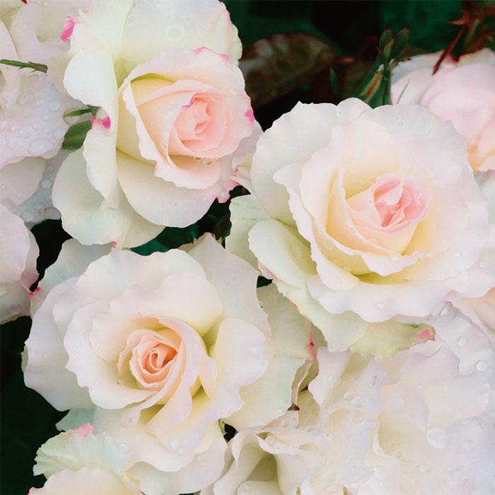 【バラ/薔薇】秋大苗「マチルダ[Matilda](FL)」四季咲/ポピュラーローズ/ピンク系