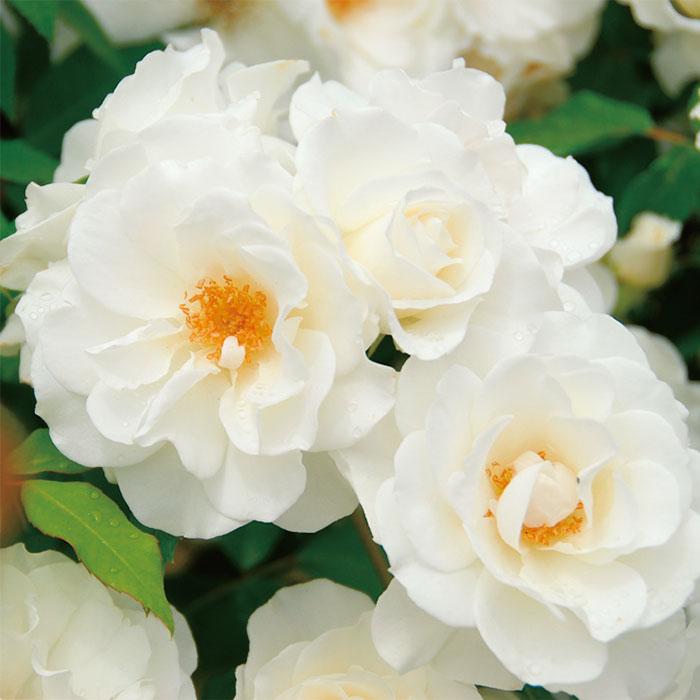 【バラ/薔薇】バラ苗 6号鉢「アイス バーグ[Iceberg](FL)」四季咲/ポピュラーローズ/白色系/