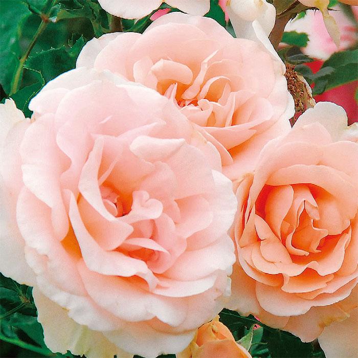 【バラ/薔薇】秋大苗「ミセス アイリス クロウ[Mrs Iris Clow](FL)」四季咲/ポピュラーローズ/ピンク系/