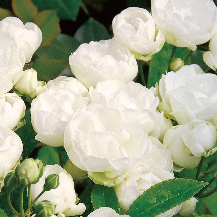 【バラ/薔薇】秋苗「シュネー プリンセス[Sneprincesse](Pol)」四季咲/ポピュラーローズ/白色系