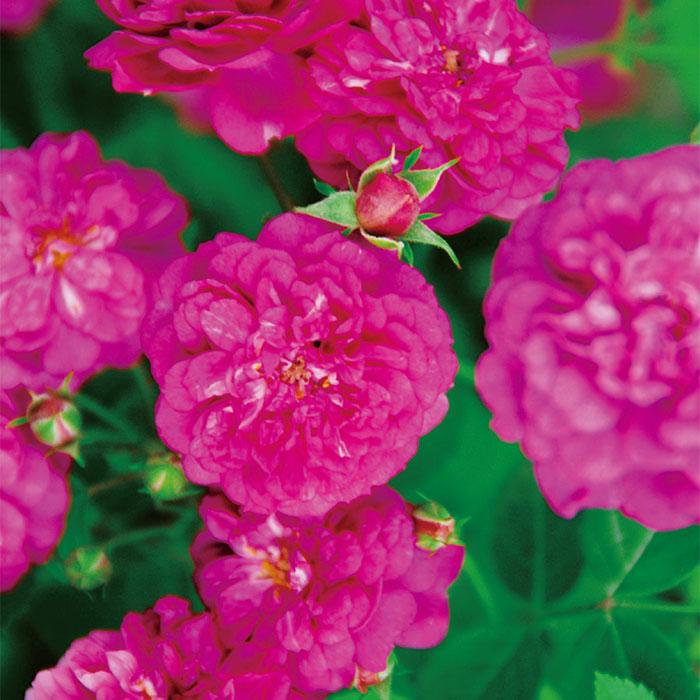 【バラ/薔薇】バラ苗 6号鉢「スイート シャリオット[Sweet Chariot](Mini)」四季咲/ポピュラーローズ/ピンク系