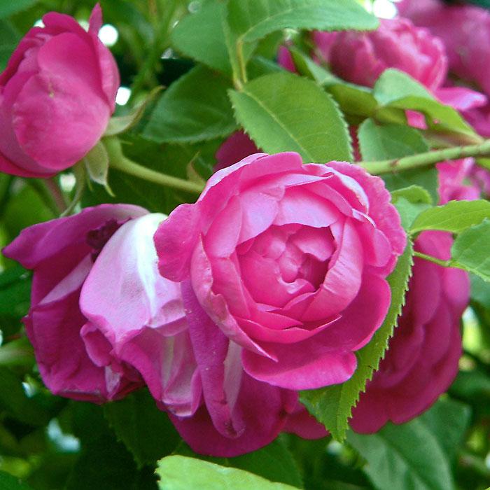 【バラ/薔薇】秋苗 「アップルシード(S)」一季咲き⇒春に一度だけたくさん咲きますつるバラ/クライミングローズ