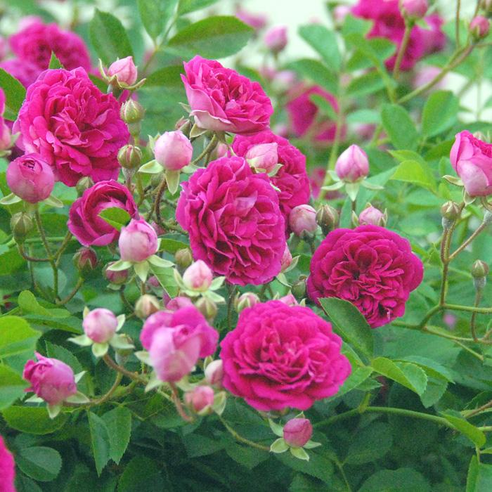 【バラ/薔薇】秋苗 プティ ルージュ[Petit Rouge]/つるバラ/クライミングローズ