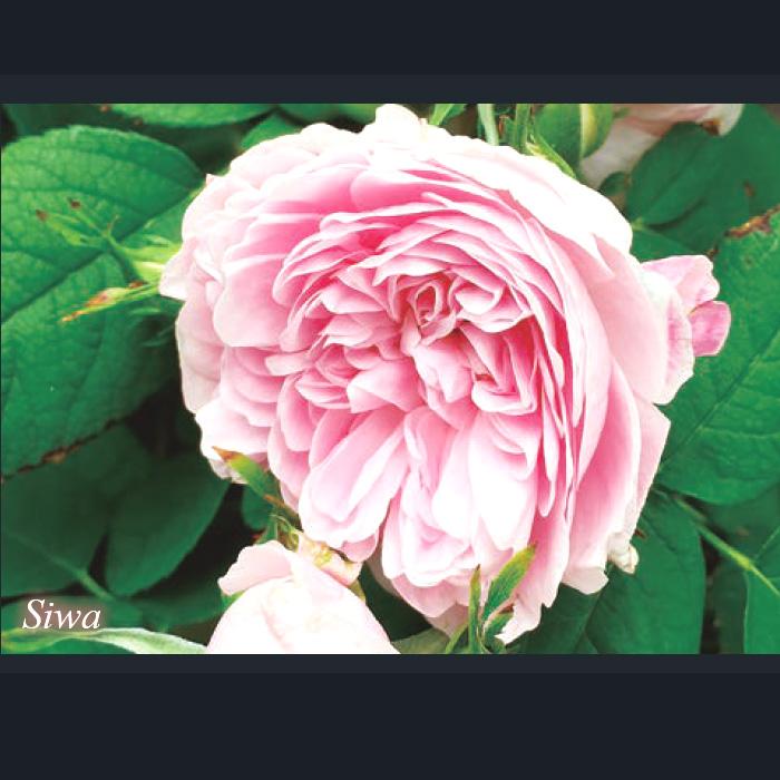 「シワSiwa」一季咲/ピンク系/オールドローズ