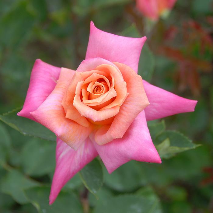 【バラ/薔薇】バラ苗 6号鉢 嵯峨野(さがの)