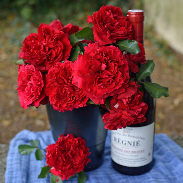 【バラ/薔薇】秋大苗 ベル ドゥ レニエ[Belle de Regnie ]