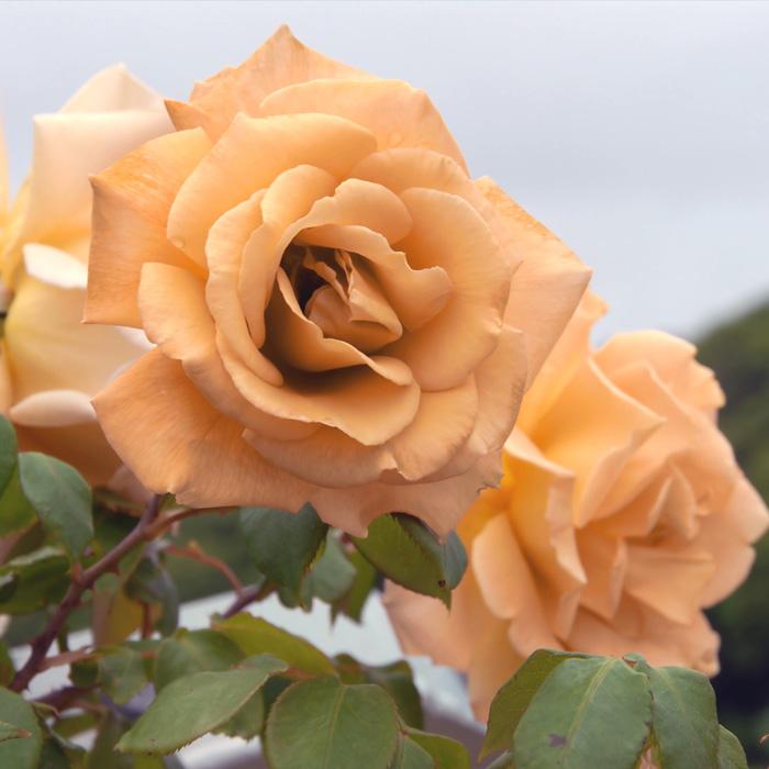バタースコッチ(CL)Butterscotch」四季咲/つるバラ