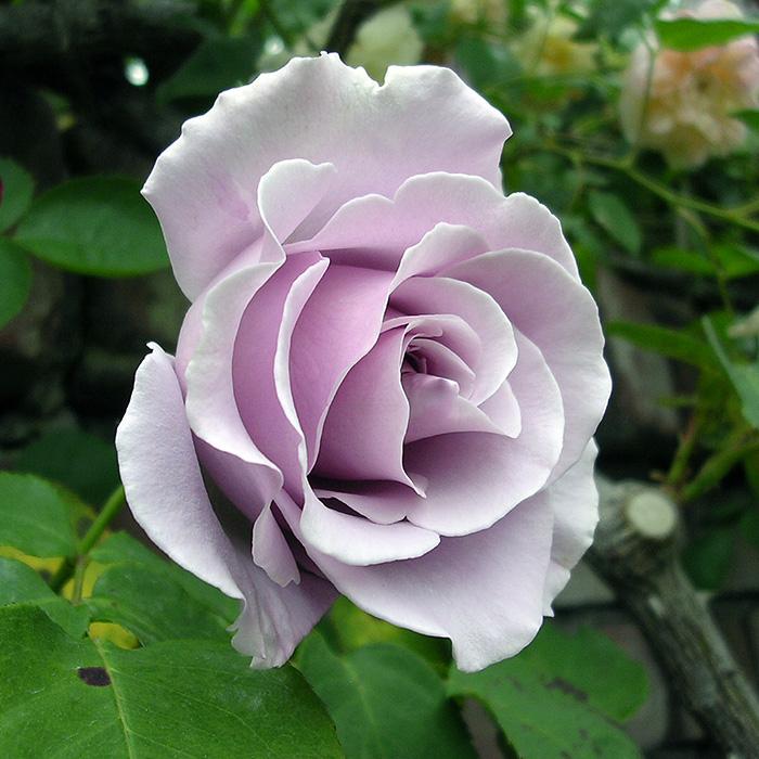 【バラ/薔薇】つる スターリングシルバー