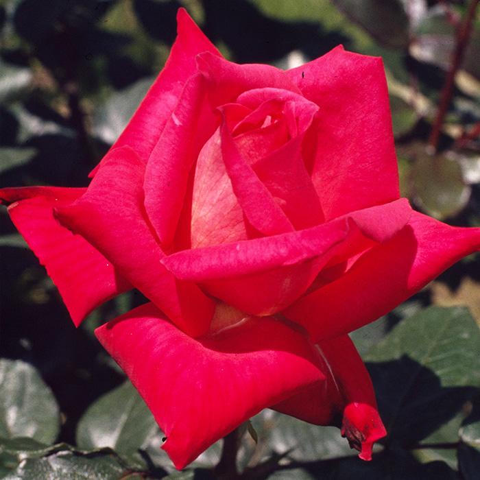 【バラ/薔薇】バラ苗 6号鉢 鞍馬(くらま)