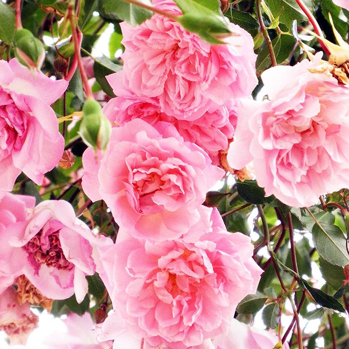 【バラ/薔薇】フランソワ ジュランビル