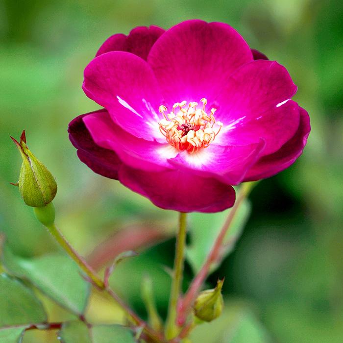 【バラ/薔薇】江戸の庚申[エドノコウシン](チャイナ)」四季咲/アンティークローズ/赤色系